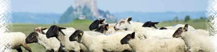 mouton de pré-salé dans la baie du mont saint michel